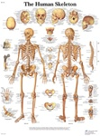 Human Skeleton Anatomical STICKYchart