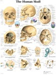 Human Skull Anatomical STICKYchart