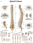 Spinal Column Anatomical STICKYchart
