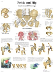 Pelvis and Hip - Anatomical Chart