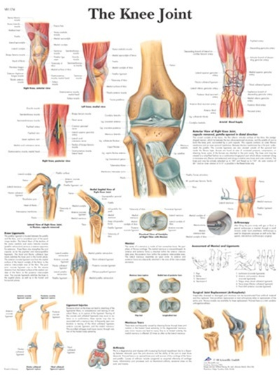 Knee joint anatomical stickychart 3b scientific anatomical chart knee joint anatomical stickychart ccuart Images