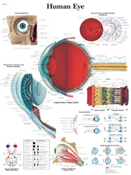Human Eye - Anatomical Chart