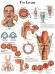 Larynx - Anatomical Chart