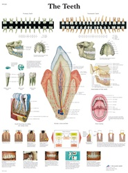 The Teeth - Anatomical Chart