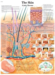 The Skin - Anatomical Chart