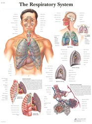 The Respiratory System - Anatomical Chart