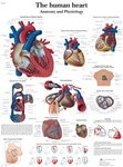 Human Heart Anatomical STICKYchart