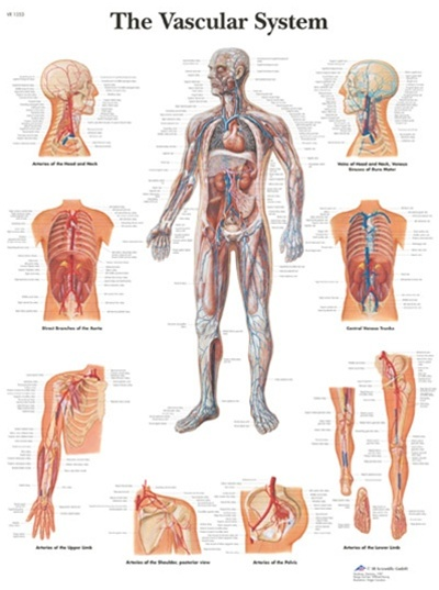 The Vascular System Anatomical Chart Anatomy Poster Anatomical