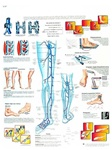 Varicose Veins - Anatomical Chart