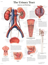 The Urinary Tract - Anatomical Chart