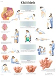 Childbirth - Anatomical Chart