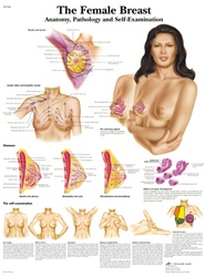 The Female Breast - Anatomical Chart