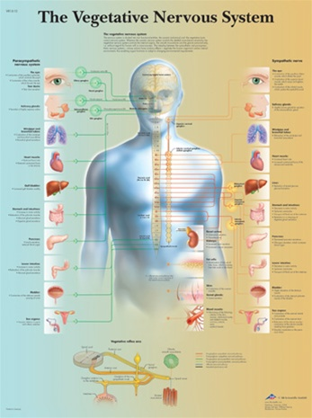 The vegetative Nervous system - Anatomical Chart, Anatomy Poster ...