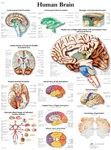 Human Brain Anatomical STICKYchart