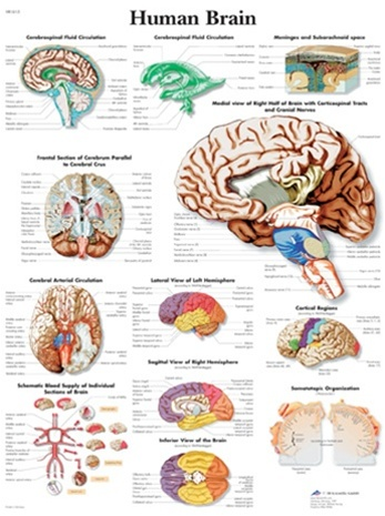 Human brain anatomical chart anatomy poster anatomical poster human brain anatomical chart ccuart Images