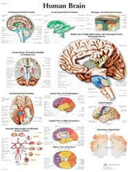 Human Brain - Anatomical Chart