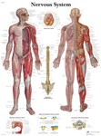 Nervous System - Anatomical Chart