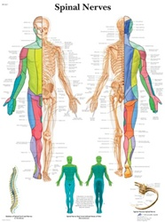 Spinal Nerves Anatomical STICKYchart