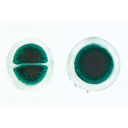 Algae Microscope Slides (30 slides)
