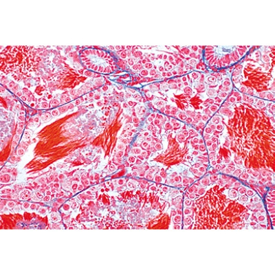 the animal cell 12 microscope slides anatomical models