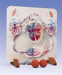Functional Heart and Circulatory System Anatomical Model