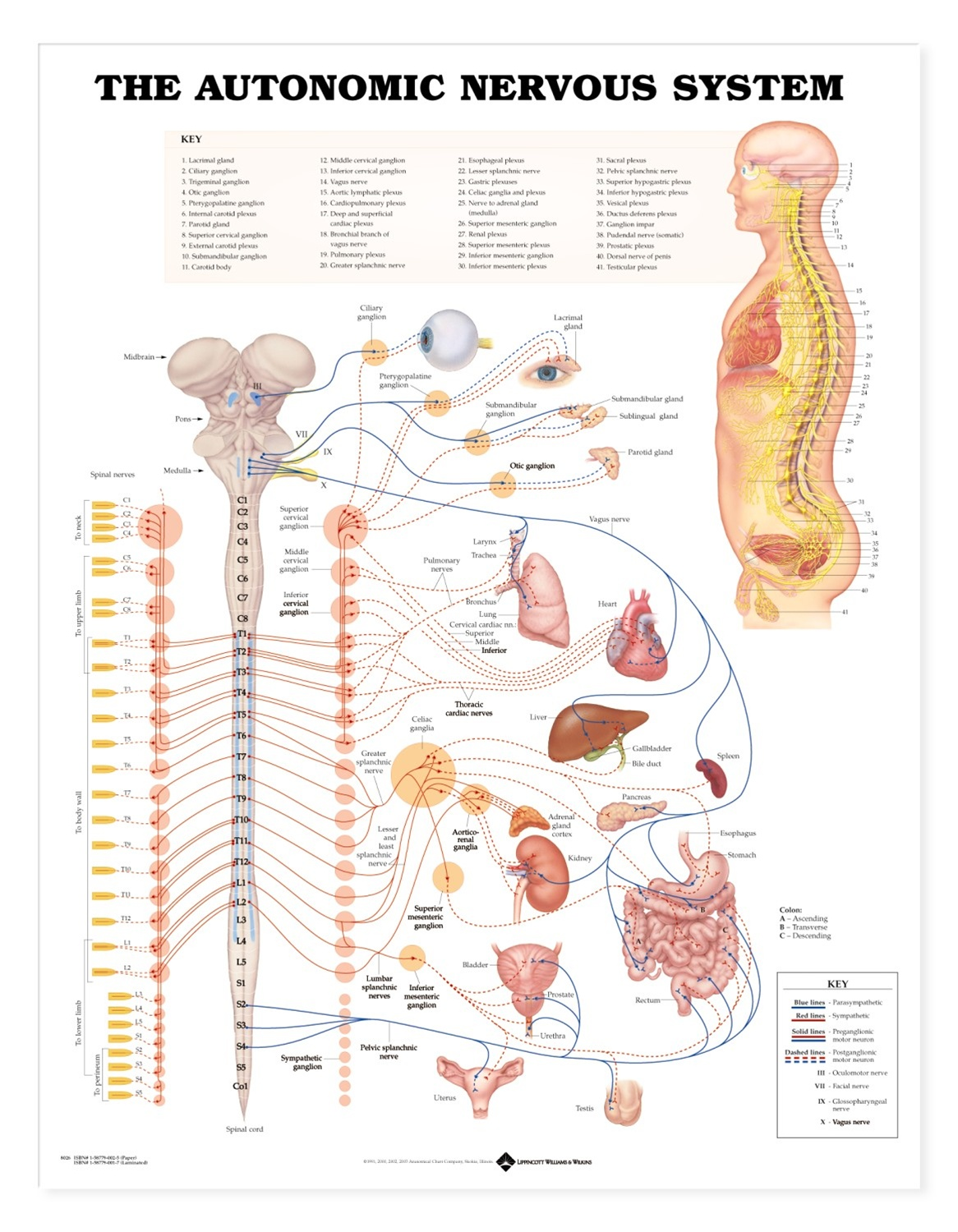 Human Autonomic Nervous System Anatomical Chart - Anatomy Models and ...