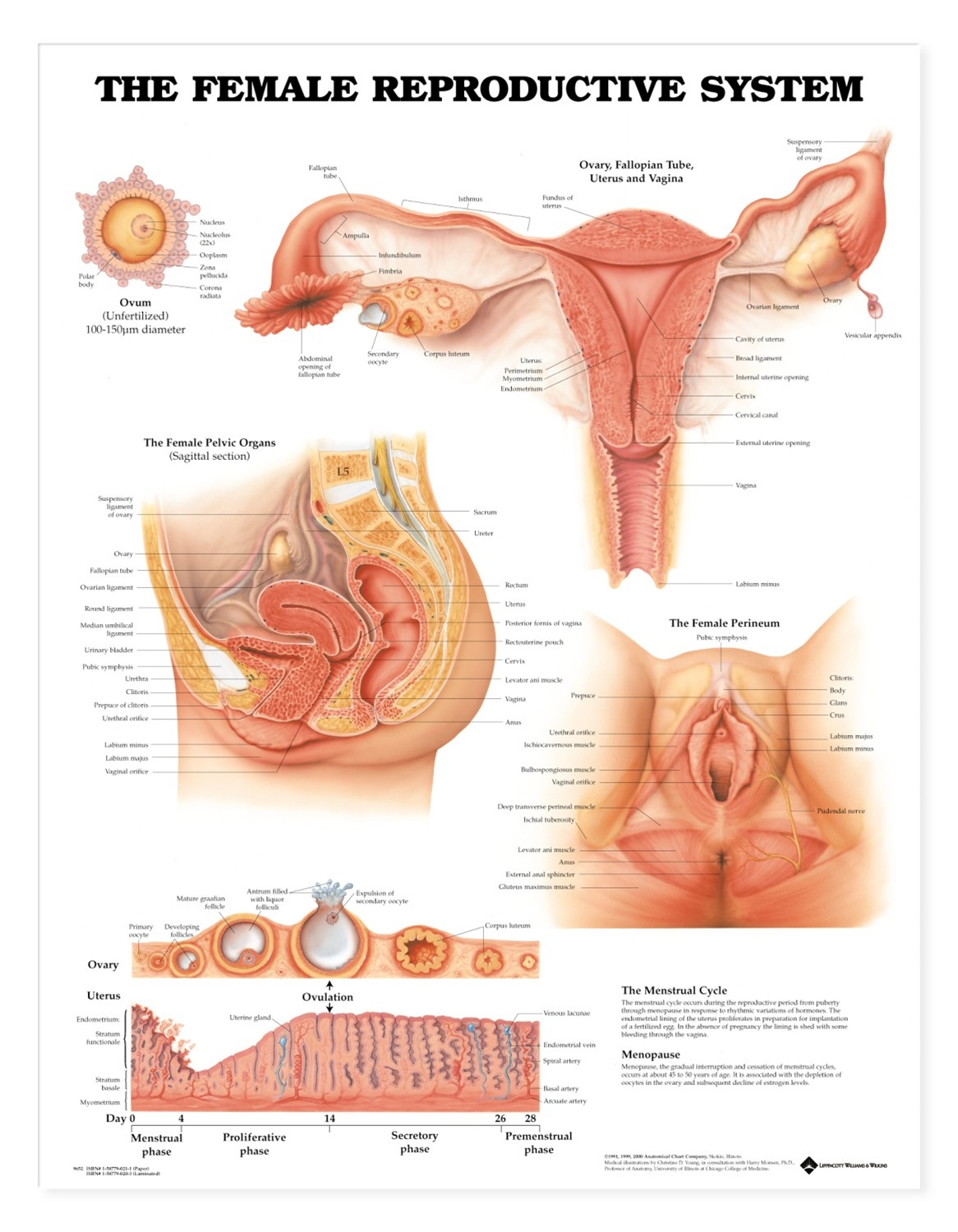 The Female Reproductive System Anatomical Chart - Anatomy Models and ...