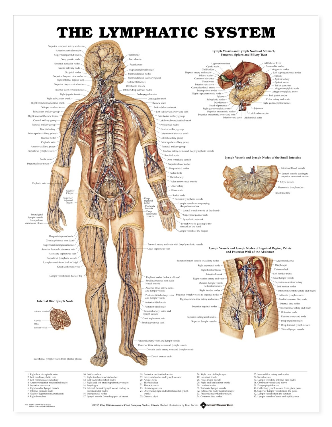 The Lymphatic System Anatomical Chart Anatomy Models And