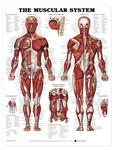 The Muscular System Anatomical Chart - Laminated