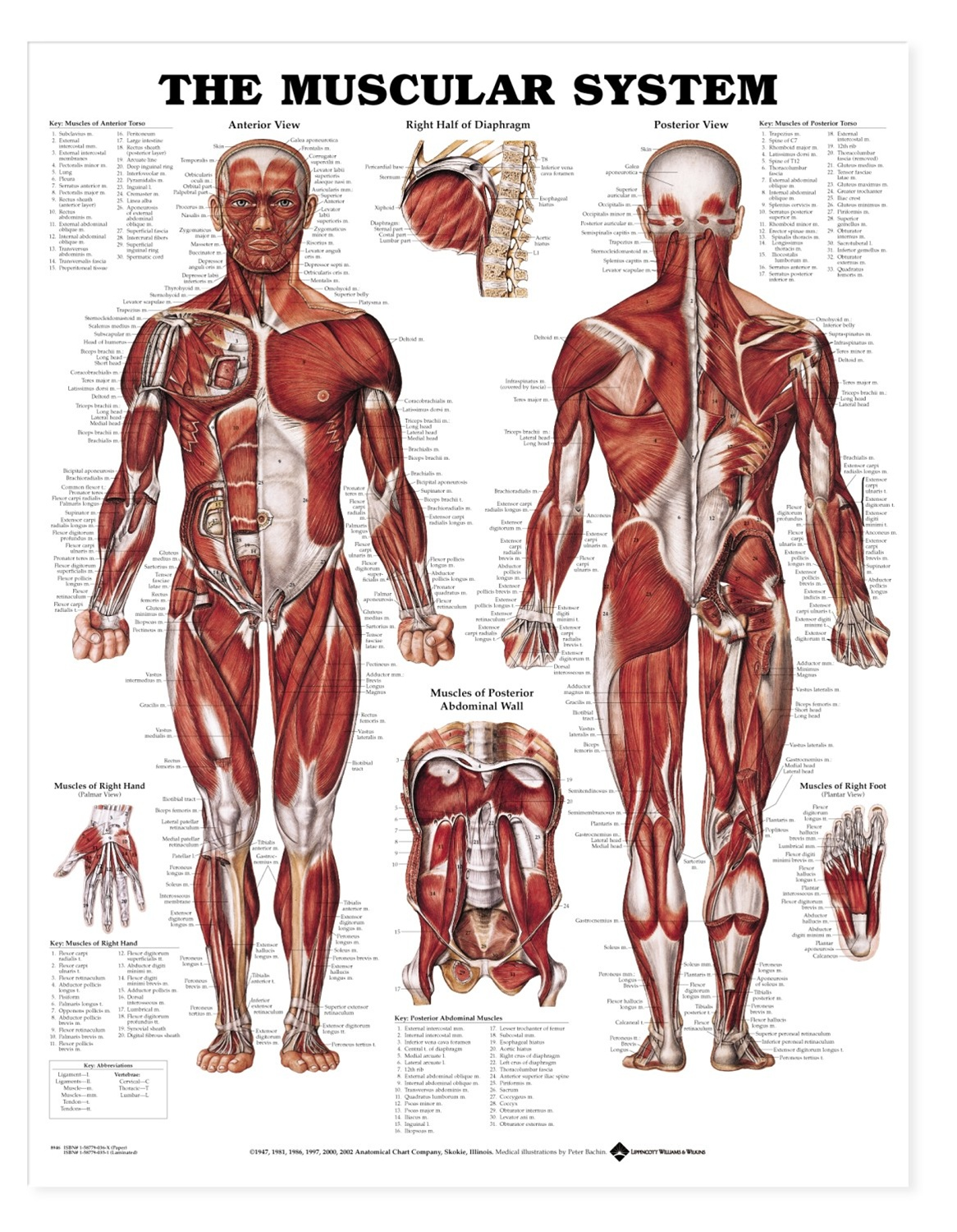 The Muscular System Anatomical Chart - Anatomy Models and Anatomical ...