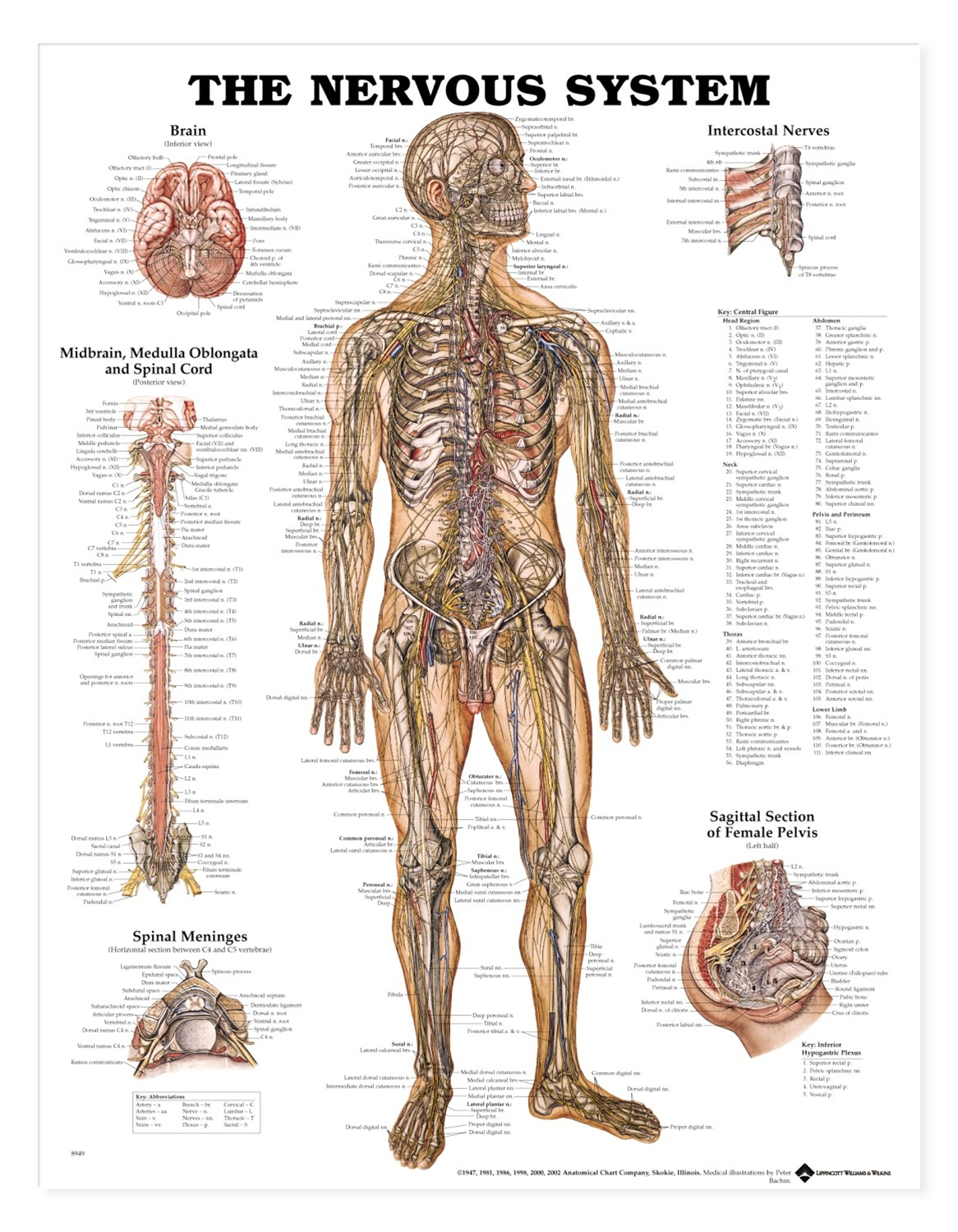 Human Nervous System Anatomical Chart - Anatomy Models and ...