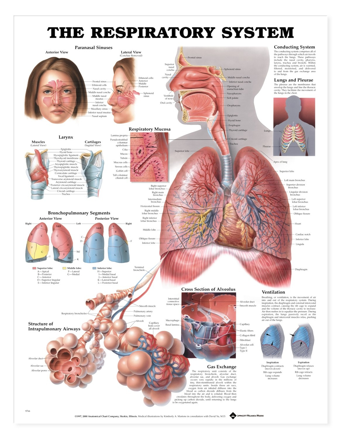 The Respiratory System Anatomical Chart - Anatomy Models and ...