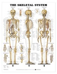 The Skeletal System Anatomical Chart - Laminated