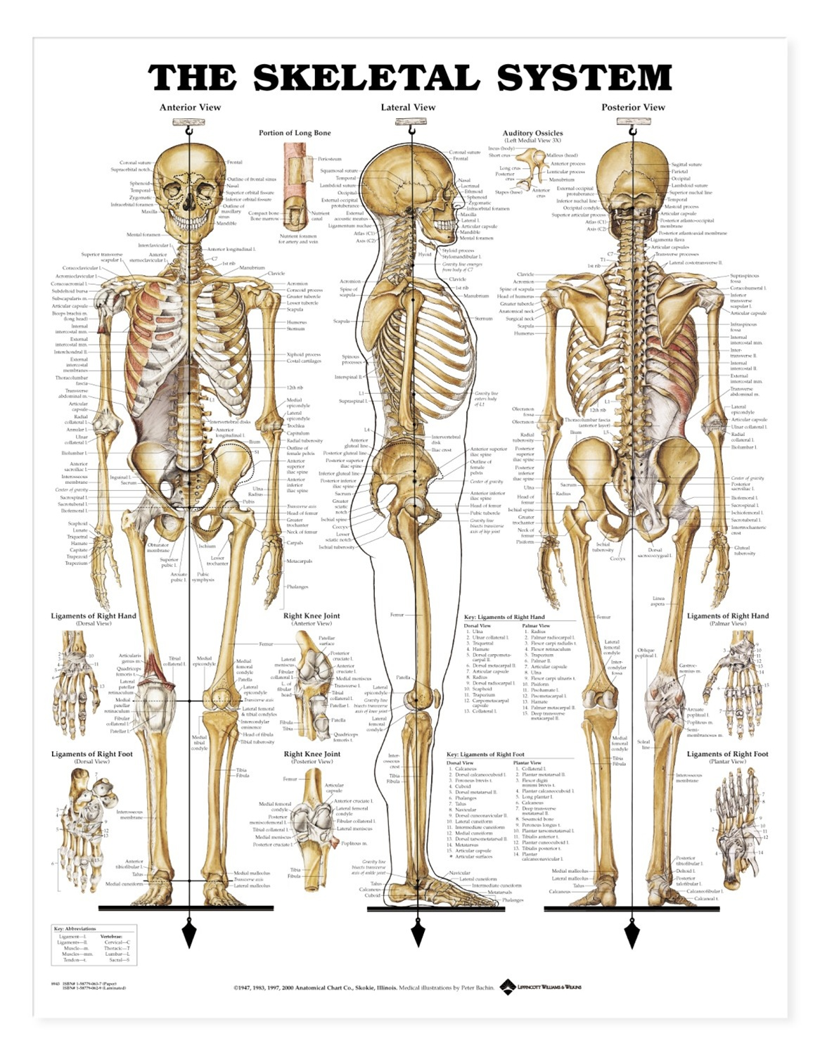 The skeletal system anatomical chart anatomy models and anatomical
