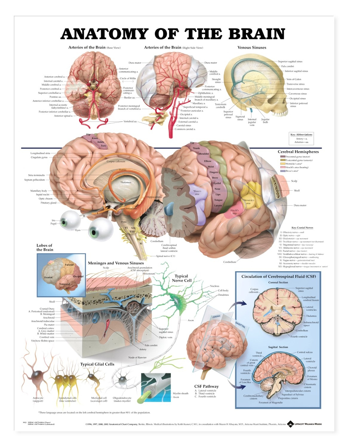 Anatomy of the Brain Anatomical Chart - Anatomy Models and ...