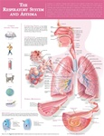 The Respiratory System and Asthma Anatomical Chart - Laminated