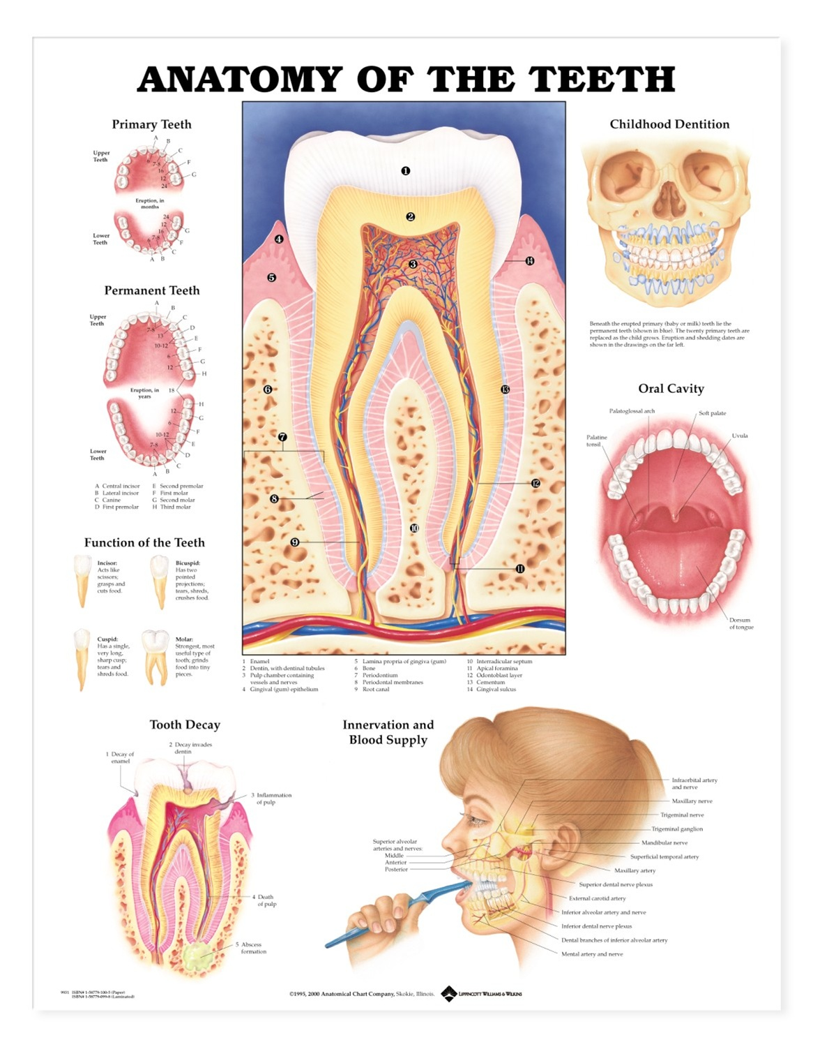 Anatomy of the Teeth Anatomical Chart - Anatomy Models and ...
