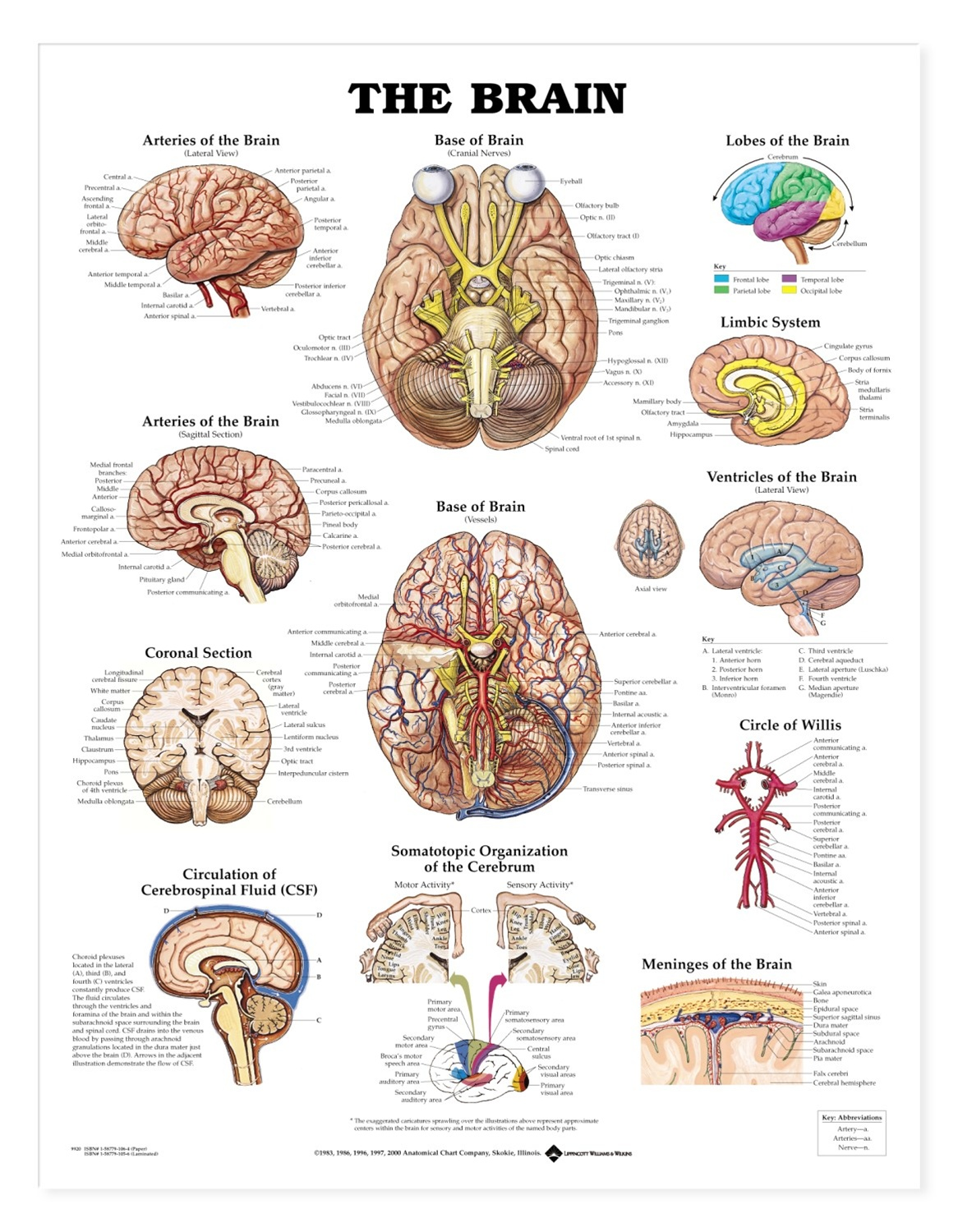 The Brain Anatomical Chart - Anatomy Models and Anatomical Charts