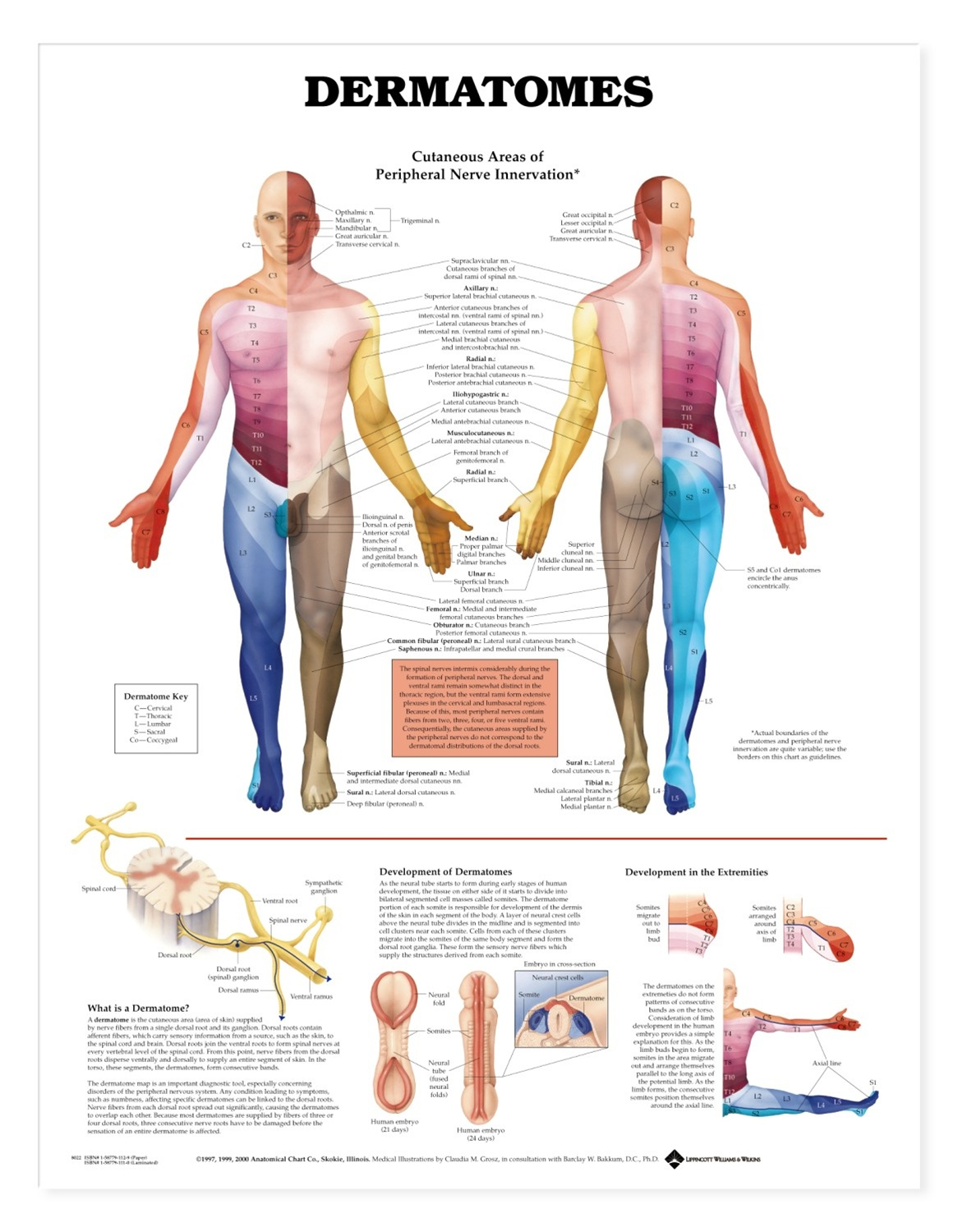 Human Dermatomes Anatomical Chart - Anatomy Models and Anatomical Charts