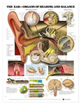 The Ear - Organs of Hearing and Balance Anatomical Chart