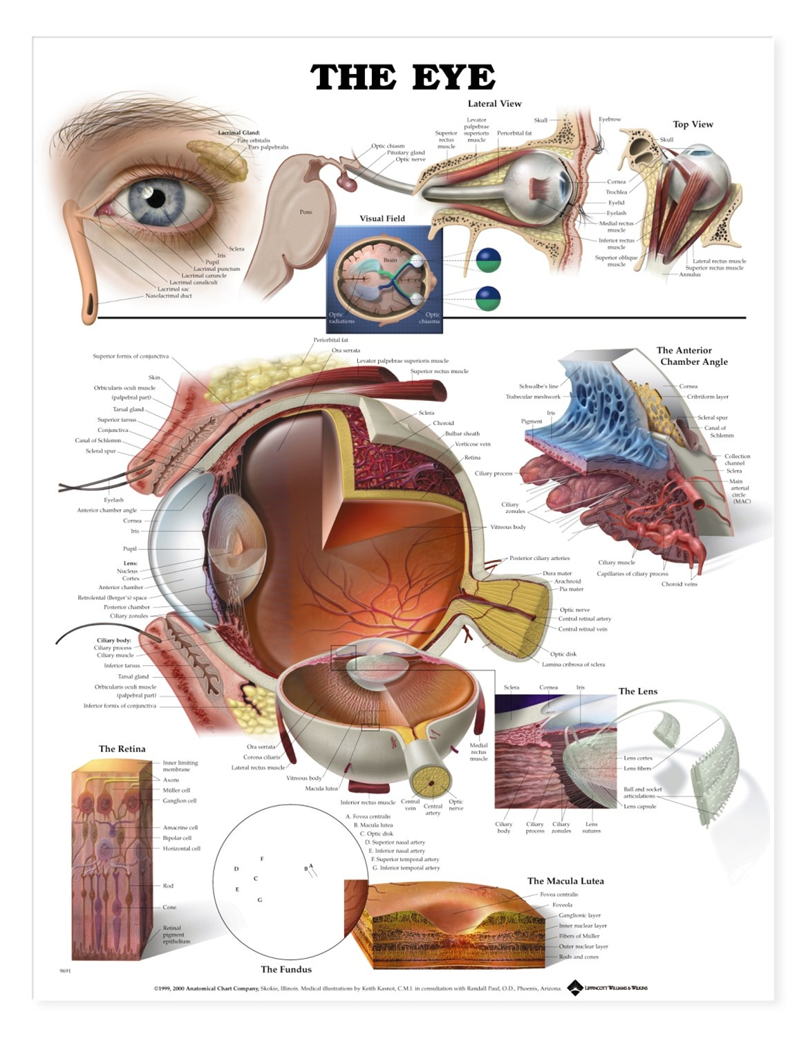 The Eye Anatomical Chart - Anatomy Models and Anatomical Charts