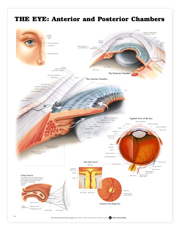 The Eye Anterior And Posterior Chambers Anatomical Chart Anatomy