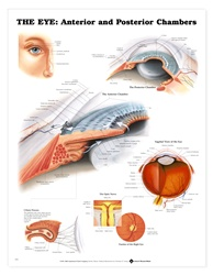 The Eye: Anterior and Posterior Chambers Anatomical Chart
