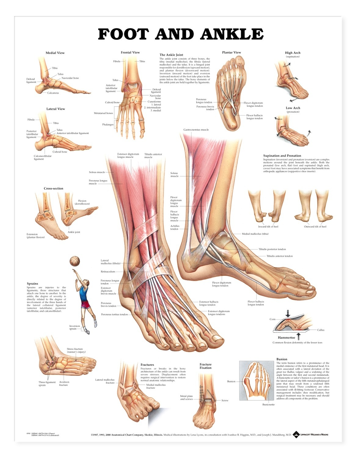 Foot and Ankle Anatomical Chart - Anatomy Models and Anatomical Charts