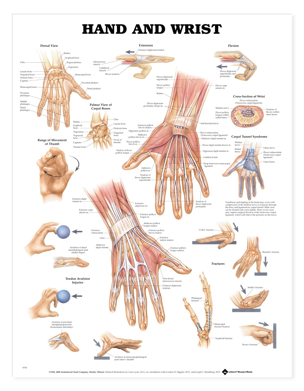 Hand And Wrist Anatomical Chart Anatomy Models And Anatomical Charts
