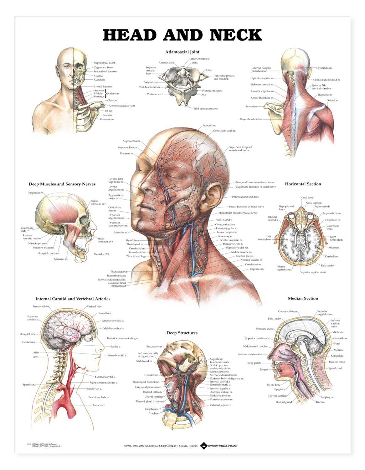 Head and Neck Anatomical Chart - Anatomy Models and Anatomical Charts