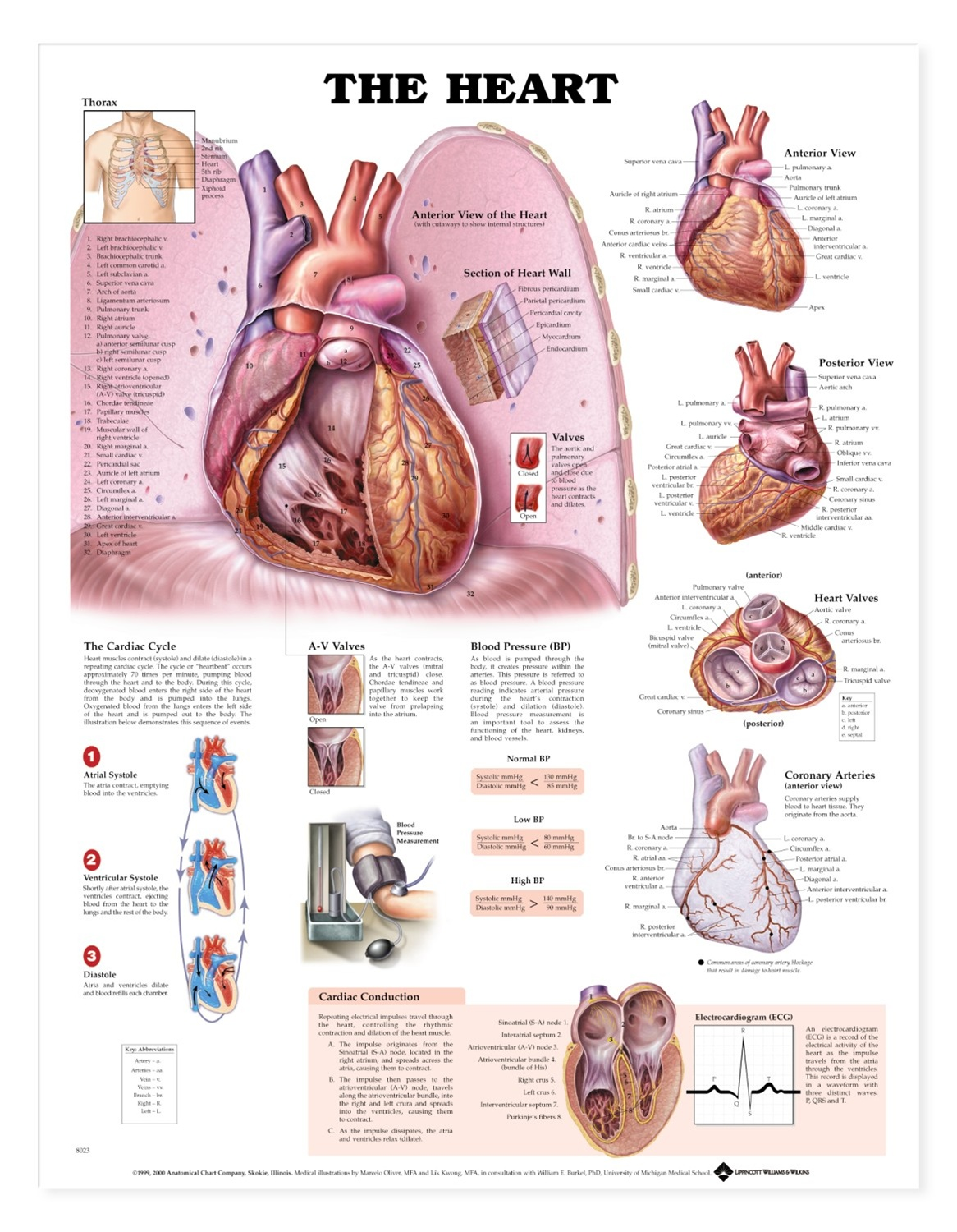 The Heart Anatomical Chart Anatomy Models And Anatomical Charts