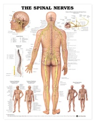 Human Spinal Nerves Anatomical Chart