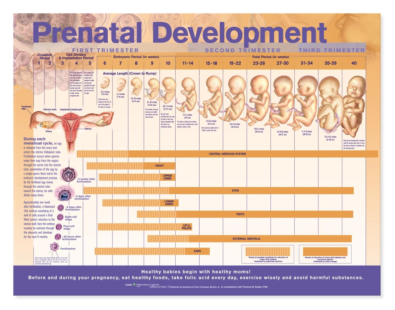 prenatal development anatomical chart anatomy models and. Black Bedroom Furniture Sets. Home Design Ideas