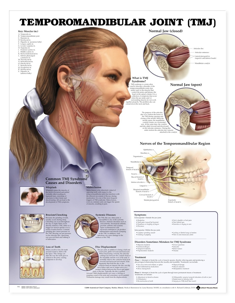 Temporomandibular Joint (TMJ) Anatomical Chart - Laminated - Anatomy ...